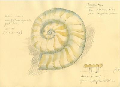 zeichnung-Amonit